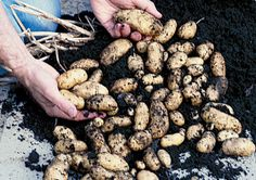 You don't need acres of space to grow a crop of homegrown potatoes - a sunny balcony or patio will do.