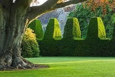 topiary yew hedge and a lovely old tree