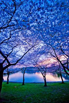 Sunset Cherry Trees
