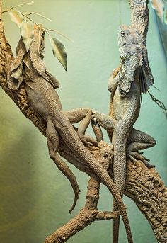 Two Frill-necked lizards
