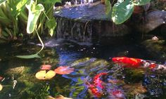 backyard Koi Pond Los Angeles  enviroscapeLA.com
