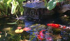 backyard Koi Pond Los Angeles  enviroscapeLA.com