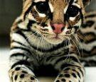 cheetah, bengal cats, animals, big cats, pets