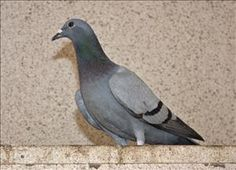 Speed Racer is an adoptable Pigeon Dove in Monterey, CA.  Primary Color: Blue Secondary Color: Black Age: 0yrs 0mths 0wks ADOPTION INFORMATION : All animals adopted... on @The SPCA for Monterey County adopt rock, doverock pigeon, rock doverock