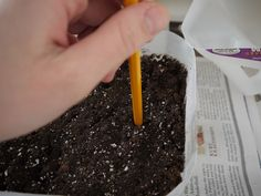 Starting seeds in milk jugs. Get more great information and tips about starting tomato seeds at http://www.tomatodirt.com/grow-tomatoes-from-seeds.html.