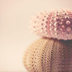 macro photograph of a beautiful, soft green and blush pink sea urchin