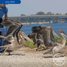 What a happy flock of pelicans! They are spreading their wings after being rehabilitated by the SeaWorld Oiled Wildlife Care Center! #365DaysOfRescue