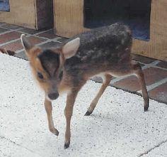 Pet Muntjac Deer.... pet zoo