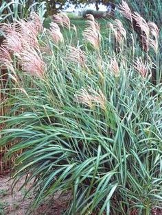 Types of Ornamental Grasses - on HGTV
