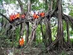 Arvore da Amazonia - , Amazonas