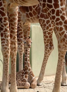 Smile! Where is the baby giraffe?