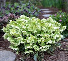 This variety of Helleborus argutifolius (also called Corsican Hellebore) is really unique and has done surprisingly well in my garden.…