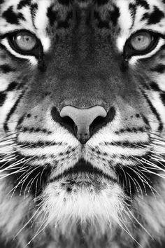 wild, big cats, art, creatur, natur, beauti, tigers, eyes, animal
