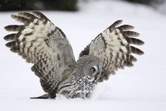 anim, beauti bird, nature photography, grey owl, feather, brandy, owls, fields, cameras