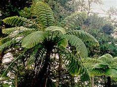 plant, palm seed, cooperii flower, trees, fern tree, bulbs, tree fern, ferns, flower palm