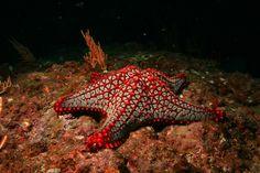 El colorido y extraño mundo de las estrellas de mar -  The Colorful and Bizarre World of Starfish