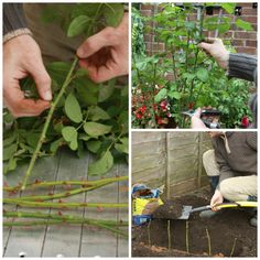 How to Take Rose Cuttings Properly
