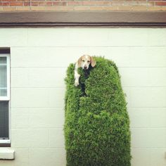 Maddie in a Bush.