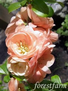 """Flowering Quince """"Cameo"""":  Just got this sweet little shrub."""