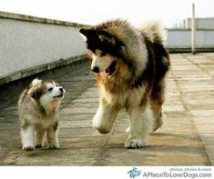 anim, walks, teddy bears, sons, husky, happy moments, puppi, big dogs, father
