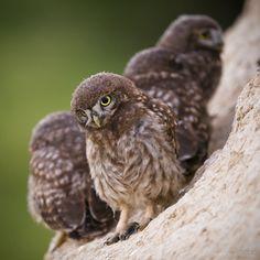 Baby!!   Owl Family by My Mriya Prophotos.ru. Профессионально о фотографии - Сычик