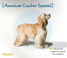 The American Cocker Spaniel is the smallest of the spaniels. Like her close cousin, the English Cocker Spaniel, she was used to hunt woodcock (hence her name), and she still possesses great speed and swimming abilities. The American Cocker was the most popular breed in the United States during the 1940s, 50s and 1980s, and several U.S. presidents have also been fans of American Cockers, including Harry Truman, Richard Nixon and Bill Clinton.