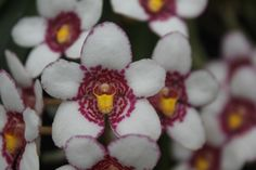 Burgundy on Ice Orchid Australian orchid