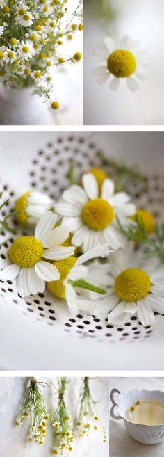 fresh chamomileflowers