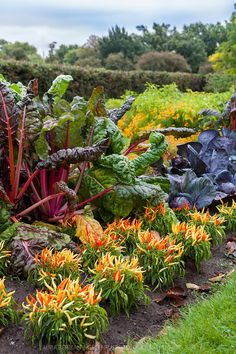 Color! Bright Lights chard, yellow, orange, and red Medusa ornamental hot peppers, and purple cabbages add colour to a kitchen garden in early autumn.