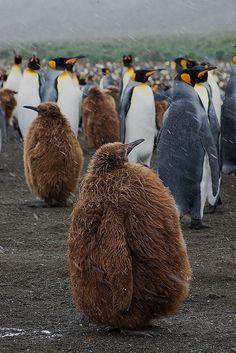 juvenile emperor penguin