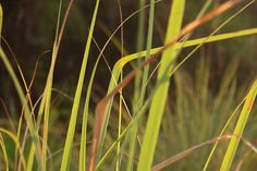 ckr estat, wild grass, tamil nadu