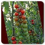 Organic Suzanne F1 Hybrid Tomato