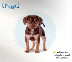 Did you know the Puggle is a new breed of dog, originating in the 1980s in Wisconsin? Read more about this breed by visiting Petplan pet insurance's Condition Checker!