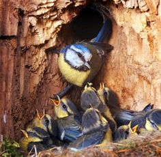 A family of Blue Tits