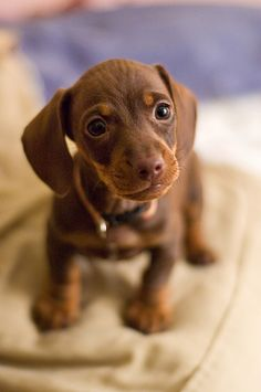 Puppy love - dachshund