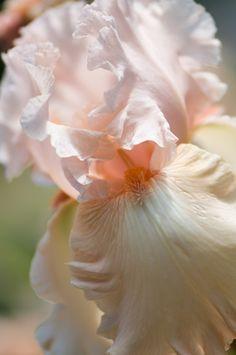 Pale peach bearded iris