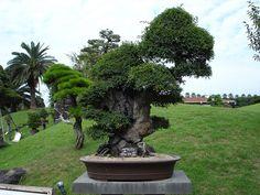 bonsai | Flickr - Photo Sharing!