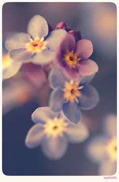forgetmenot pleas, color, forget menot, natur, beauti, flowers, pretti, garden, floral