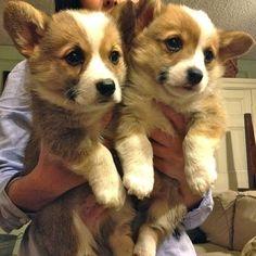 Twin corgis! Photo by dailypuppy twin puppies, welsh corgi, baby twins, pet, corgi puppies, cuti, cutest animals, dog, fluffy puppies
