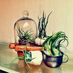 Air plant display :)