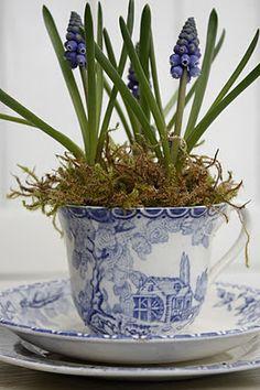 plant, vintage teacups, grape hyacinth, tiny gardens, blue flowers, bulb, tea cup, winter flowers, blues