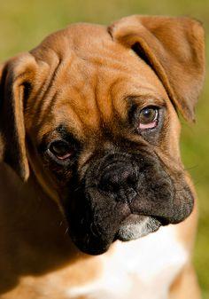 boxer dogs, babi dog, beauti babi, boxer puppies, pets, 11 week, beauti boxer, boxers, baby dogs