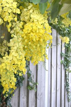 the yellow flowers of a golden shower tree - would love to have this planted along our fence or climbing our wall along the entry