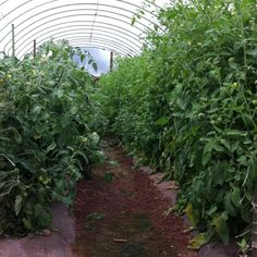 Heirloom tomato high tunnel 3 months. (6ft+ tall)