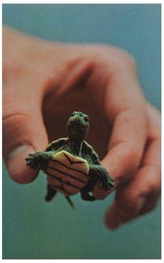 bebe turtle