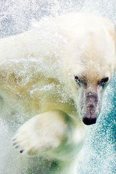 """Polar Bear ~ Miks' Pics """"Animals lll"""" board @ http://www.pinterest.com/msmgish/animals-lll/"""