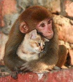 So precious..... kitten, cat, pet, odd couples, baby animals, dog, animal babies, friend, monkey