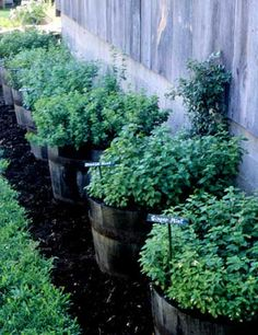 Mint planted in barrels - Prevent mint plants from completely taking over the garden by planting in half-barrels or containers. Create attractive design by planting different mint variety in each container, such as orange, ginger, peppermint, spearmint, and chocolate mint. I'm doing this!