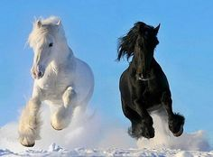 Black White Stallions