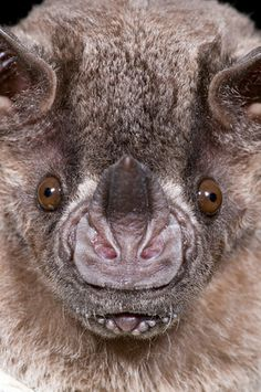 "Jamaican leaf-nosed bat. Ever wonder how bats ""See"" in the dark?     http://www.uhaul.com/SuperGraphics/264/2/Enhanced/Venture-Across-America-and-Canada-Modern/Missouri/Echolocation"